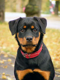 Rottweiler portrait. Adorable 5 month old rottweiler pup portrait in the autumn park Royalty Free Stock Photography