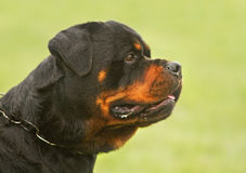 Rottweiler portrait Royalty Free Stock Image