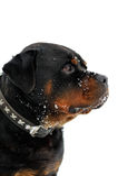 Rottweiler portrait Stock Images