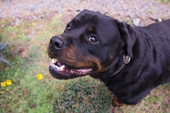 Rottweiler. Portrait of a dog - rottweiler. Fighting dog Royalty Free Stock Photo