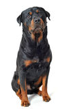 Rottweiler. Portrait of a purebred rottweiler in front of white background Stock Photo