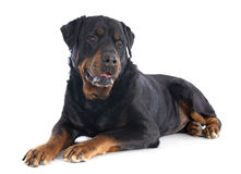 Rottweiler. Portrait of a purebred rottweiler senior in front of white background Stock Photo