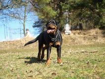 Rottweiler portret w łąkach Zdjęcie Stock