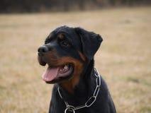 Rottweiler portreta szczeniak Zdjęcie Stock