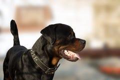 Rottweiler profil Zdjęcia Stock