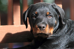 Rottweiler Pup Royalty Free Stock Photography