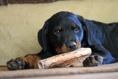 Rottweiler pup with bone Stock Image