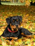 Rottweiler pup lying on the ground in forest. Cute 5 month old rottweiler pup lying on the ground in the forest in autumn Stock Photos