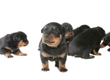 Rottweiler Puppies Royalty Free Stock Photo