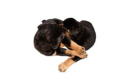 Rottweiler puppies Royalty Free Stock Photos