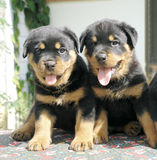 Rottweiler puppies Stock Images