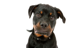 Rottweiler puppy stock photo