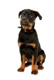 Rottweiler puppy Stock Images