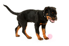 Rottweiler puppy Stock Photography