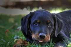 Rottweiler puppy Royalty Free Stock Photography