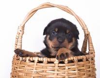 Rottweiler  puppy. Purebred rottweiler  puppy, dog 1 month Stock Photo
