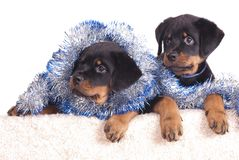 Rottweiler puppy Royalty Free Stock Photo