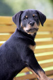 Rottweiler puppy. Portrait of a cute curious rottweiler dog puppy Stock Photography