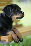 Rottweiler puppy. Portrait of a cute rottweiler dog puppy Royalty Free Stock Photos