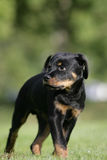 Rottweiler puppy. Portrait of a standing Rottweiler dog puppy Stock Photo