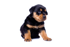 Rottweiler puppy. Sitting on isolated white background Royalty Free Stock Photo