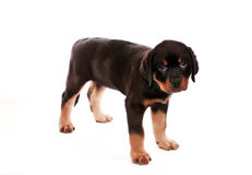 Rottweiler puppy. Stock Images