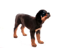 Rottweiler puppy. Royalty Free Stock Photography