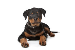 Rottweiler puppy. In front of a white background Royalty Free Stock Images