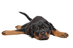 Rottweiler puppy. In front of a white background Royalty Free Stock Photos