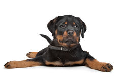 Rottweiler puppy. In front of a white background Royalty Free Stock Image