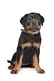 Rottweiler puppy. In front of a white background Stock Photo