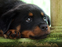 Rottweiler puppy royalty free stock images