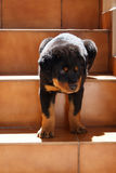 Rottweiler puppy. And stairs in the morning Royalty Free Stock Image