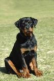 Rottweiler puppy. A beautiful little Rottweiler puppy with cute expression in the face sitting and watching other dogs in the park outdoors Stock Image