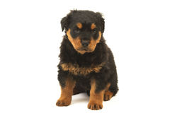 Rottweiler puppy. Studio isolated on white Stock Photo