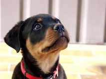 Rottweiler Puppy Royalty Free Stock Image