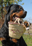 Rottweiler and puppy. A rottweiler carrying a very young puppy jack russel terrier in a basket Royalty Free Stock Photos