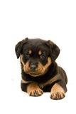 Rottweiler Puppy. Beautiful male rottweiler puppy, just six weeks old Royalty Free Stock Image