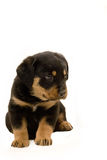 Rottweiler Puppy. Beautiful male rottweiler puppy, just six weeks old Stock Photos