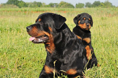 Rottweiler and puppy Stock Photos