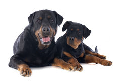 Rottweiler, puppy and adult Royalty Free Stock Images