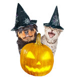 Rottweiler puppy and angry cat peeks out from behind a pumpkin.  on white Stock Images
