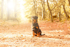 Rottweiler puppy. Beautiful rottweiler puppy walking at the park Royalty Free Stock Images