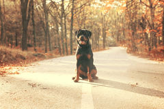 Rottweiler puppy. Beautiful rottweiler puppy walking at the park Stock Photos