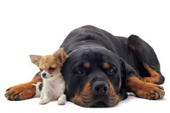 Rottweiler and puppy chihuahua Royalty Free Stock Photo