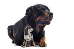 Rottweiler and puppy chihuahua Stock Image