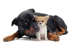 Rottweiler and puppy chihuahua Stock Images