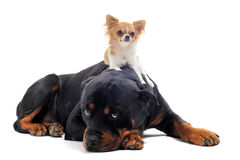 Rottweiler and puppy chihuahua. Portrait of a purebred rottweiler and puppy chihuahua on the back in front of white background Royalty Free Stock Photo