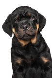 Rottweiler puppy dog isolated on white. Close-up of Rottweiler puppy dog portrait isolated on white background Stock Images