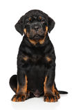 Rottweiler puppy dog on white Royalty Free Stock Image